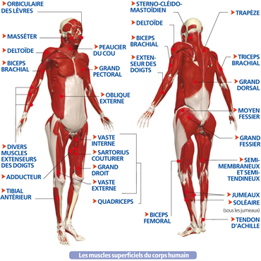 http://www.lecorpshumain.fr/corpshumain/img_fiches/anatomie/muscles_squelettiques_1.jpg