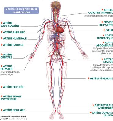 vascularisation du corps humain