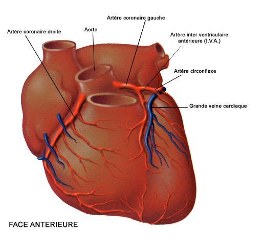 coeur face antérieure