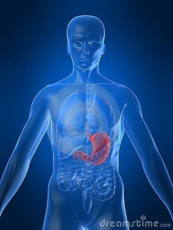 L estomac le corps humain for Interieur du corps humain image