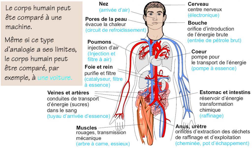 Le corps humain, une machine