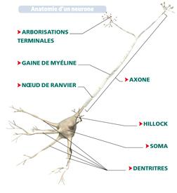 La transmission de l 39 influx nerveux ph nom ne de nature for Influx nerveux