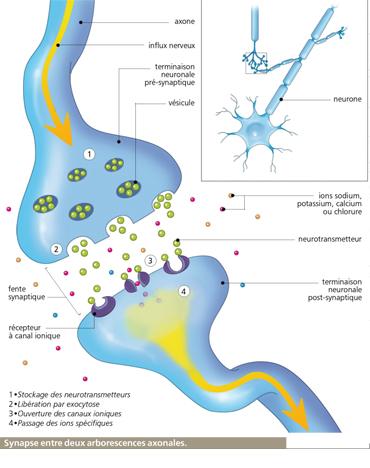 La transmission de l influx nerveux le corps humain for Influx nerveux