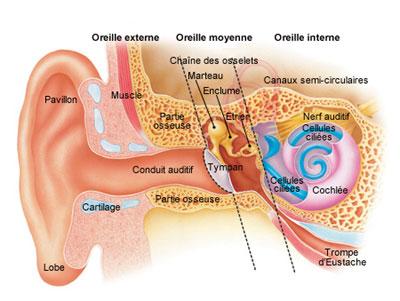 Coupe d'une oreille interne
