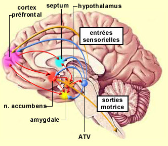 Les centres du plaisir du cerveau humain